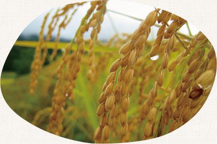 農薬不使用、肥料も不使用の安心安全のおみそです